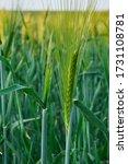 Green Wheat Field Ripening In...