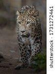 Portrait Of Persian Leopard In...