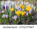 Spring Crocuses Bloom In The...