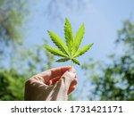 Cannabis Leaf In A Male Hand...