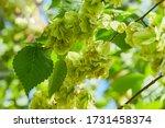 Ulmus Minor Or Elm Tree In The...