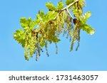 Blooming English Oak  Quercus...