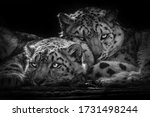 Snow Leopard Who Just Woke Up...