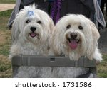 male and female havanese dogs - stock photo