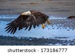 American Bald Eagle At Anchor...