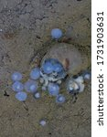 Small photo of A clam living in Siberia viviparous luzhanka ( Viviparus viviparus ). The clam giving birth for its progeny in under water level