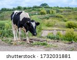 a large black and white cow... | Shutterstock . vector #1732031881