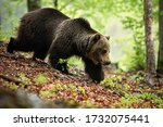 Strong brown bear, ursus arctos, walking in forest in summer nature, Slovakia, Europe. Majestic wild animal going with leg stretched forward on hillside between trees.
