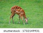 Sitatunga Is Feeding In The...