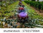 Many Artichoke Plants Growing...