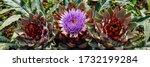 Artichoke Plant On Bed In...