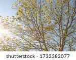 Maple Tree  Platanus X...