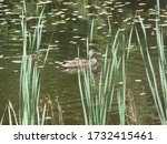 Small photo of Water fowl and their progeny