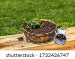 Planting Torenia Violet Flowers ...