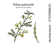 yellow palo verde or little... | Shutterstock .eps vector #1732588631