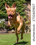 Mabel  A One Year Old Dogue De...