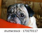 pug with sad eyes sitting at... | Shutterstock . vector #173270117