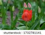 Red Tulip Flower Bloom On...