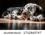 Sleeping On The Floor Dalmatian ...