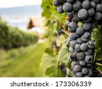 Closeup On Fresh Grapes On The...