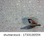 One Sparrow On The Pavement In ...