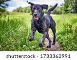 Happy Labrador Pure Breed Dog...