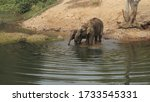 Two Elephants Drinking Water In ...