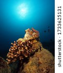 Small photo of Reef octopus Octopus cyanea waving its arms