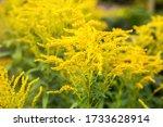 Yellow Goldenrod Flowers ...
