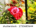A particular splendid red rose glancing clear in the open light sky - stock photo