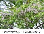 Chinaberry  Melia Azedarach ...