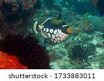 Clown Triggerfish Or Bigspotte...