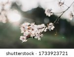 Blooming wild plum or cherry tree in a sunny day on natural garden background. Spring white flowers. Plum-tree branch with white flowers. Beautiful natural scene with a flowering tree. Soft focus. - stock photo