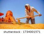 Harvesting Corn At Field  ...