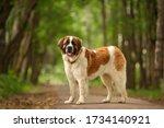 Small photo of Moscow Watchdog moskovskaya storozhevaya russian breed guard dog outdoor