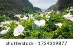 Calla Lily Valley At Garrapata...