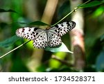 Sri Lankan Tree Nymph Butterfl...