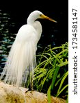Snow White Egret Is Hunting For ...