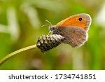 Small Heath Butterfly Macro In...