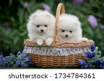 Two Cute White Puppies Of The...