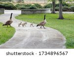 A Family Of Canadian Geese With ...