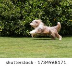 Brown Bearded Collie Running...