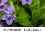 Growing Wild Common Violet...