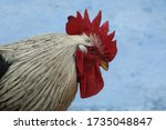 Big Beautiful Rooster On Blue...