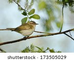 A Red Eyed Vireo Perches On A...