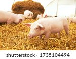 Piglet On Hay And Straw At Pig...