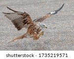 Red Kite Swoops Down For Some...