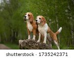 Two Beagle Dog Outdoor In...