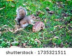 Squirrel Guarding Its Nut....