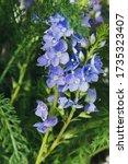 wild blue bells flowers macro... | Shutterstock . vector #1735323407